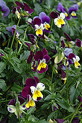 Helen Mount Pansy (Viola tricolor 'Helen Mount') at Skillins Greenhouse
