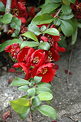 Crimson and Gold Flowering Quince (Chaenomeles x superba 'Crimson and Gold') at Skillins Greenhouse