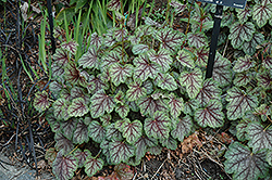 Green Spice Coral Bells (Heuchera 'Green Spice') at Skillins Greenhouse