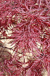 Red Dragon Japanese Maple (Acer palmatum 'Red Dragon') at Skillins Greenhouse