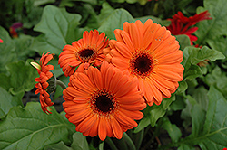 Orange Gerbera Daisy (Gerbera 'Orange') at Skillins Greenhouse