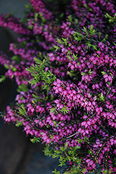 Kramer's Rote Heath (Erica carnea 'Kramer's Red') at Skillins Greenhouse