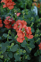 Flirtation® Orange Diascia (Diascia 'Flirtation Orange') at Skillins Greenhouse