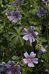 Brookside Cranesbill (Geranium 'Brookside') at Skillins Greenhouse