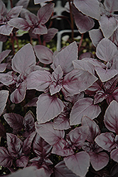 Red Rubin Basil (Ocimum basilicum 'Purpurascens') at Skillins Greenhouse