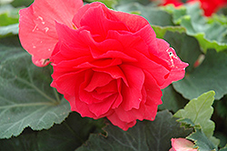 Nonstop® Bright Red Begonia (Begonia 'Nonstop Bright Red') at Skillins Greenhouse