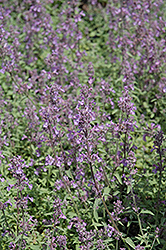 Little Trudy Catmint (Nepeta 'Psfike') at Skillins Greenhouse