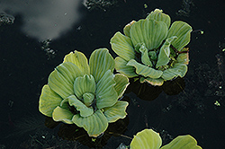 Water Lettuce (Pistia stratiotes) at Skillins Greenhouse