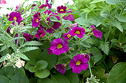 Superbells® Blue Calibrachoa (Calibrachoa 'Superbells Blue') at Skillins Greenhouse