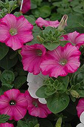 Supertunia® Raspberry Blast Petunia (Petunia 'Supertunia Raspberry Blast') at Skillins Greenhouse