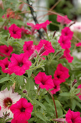 Supertunia® Sangria Charm Petunia (Petunia 'Supertunia Sangria Charm') at Skillins Greenhouse