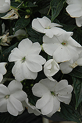 Sonic® White New Guinea Impatiens (Impatiens 'Sonic White') at Skillins Greenhouse