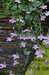 Laguna Heavenly Lilac Lobelia (Lobelia erinus 'Laguna Heavenly Lilac') at Skillins Greenhouse