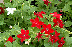 Saratoga Mix Flowering Tobacco (Nicotiana 'Saratoga Mix') at Skillins Greenhouse