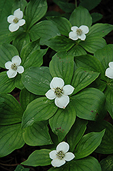 Bunchberry (Cornus canadensis) at Skillins Greenhouse