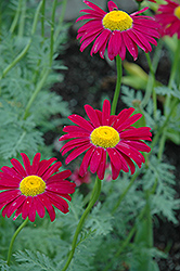 Robinson's Red Painted Daisy (Tanacetum coccineum 'Robinson's Red') at Skillins Greenhouse