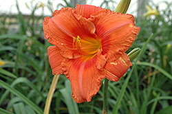 South Seas Daylily (Hemerocallis 'South Seas') at Skillins Greenhouse