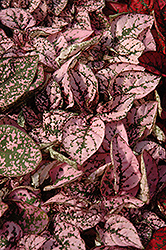 Splash Select Pink Polka Dot Plant (Hypoestes phyllostachya 'Splash Select Pink') at Skillins Greenhouse