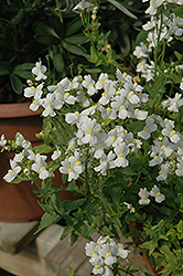 Compact Innocence Nemesia (Nemesia 'Compact Innocence') at Skillins Greenhouse