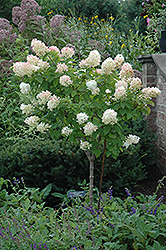 Limelight Hydrangea (tree form) (Hydrangea paniculata 'Limelight (tree form)') at Skillins Greenhouse