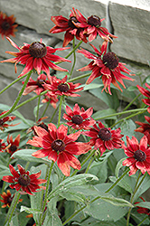 Cherry Brandy Coneflower (Rudbeckia hirta 'Cherry Brandy') at Skillins Greenhouse