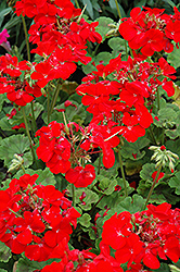 Pinto Premium Deep Red Geranium (Pelargonium 'Pinto Premium Deep Red') at Skillins Greenhouse