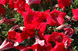 Supertunia® Red Petunia (Petunia 'Supertunia Red') at Skillins Greenhouse