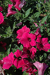 Supertunia Vista® Fuchsia Petunia (Petunia 'Supertunia Vista Fuchsia') at Skillins Greenhouse
