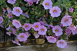 Superbells® Miss Lilac Calibrachoa (Calibrachoa 'Superbells Miss Lilac') at Skillins Greenhouse