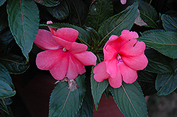 Sonic® Salmon New Guinea Impatiens (Impatiens 'Sonic Salmon') at Skillins Greenhouse