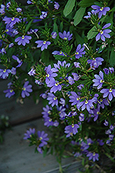 Whirlwind® Blue Fan Flower (Scaevola aemula 'Whirlwind Blue') at Skillins Greenhouse