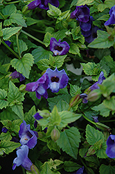 Summer Wave® Blue Torenia (Torenia 'Summer Wave Blue') at Skillins Greenhouse
