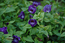 Summer Wave® Large Violet Torenia (Torenia 'Summer Wave Large Violet') at Skillins Greenhouse