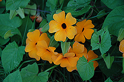 Sunny Orange Wonder Black-Eyed Susan (Thunbergia alata 'Sunny Orange Wonder') at Skillins Greenhouse