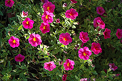 Superbells® Cherry Red Calibrachoa (Calibrachoa 'Superbells Cherry Red') at Skillins Greenhouse