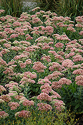 Autumn Joy Stonecrop (Sedum 'Autumn Joy') at Skillins Greenhouse