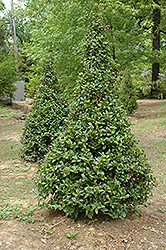 Castle Spire® Meserve Holly (Ilex x meserveae 'Hachfee') at Skillins Greenhouse