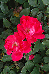 Red Knock Out® Rose (Rosa 'Red Knock Out') at Skillins Greenhouse