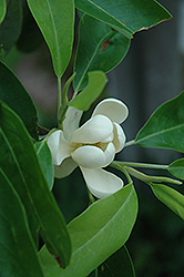 Sweetbay Magnolia (Magnolia virginiana) at Skillins Greenhouse