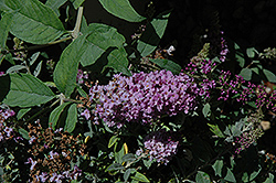 Lo And Behold® Lilac Chip Dwarf Butterfly Bush (Buddleia 'Lo And Behold Lilac Chip') at Skillins Greenhouse