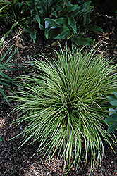 EverColor® Everillo Japanese Sedge (Carex oshimensis 'Everillo') at Skillins Greenhouse