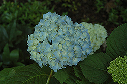 Mini Penny Hydrangea (Hydrangea macrophylla 'Mini Penny') at Skillins Greenhouse