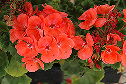 Rocky Mountain Salmon Geranium (Pelargonium 'Rocky Mountain Salmon') at Skillins Greenhouse