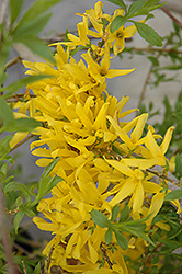 Gold Tide Forsythia (Forsythia x intermedia 'Gold Tide') at Skillins Greenhouse
