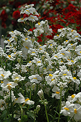 Sunsatia Coconut Nemesia (Nemesia 'Sunsatia Coconut') at Skillins Greenhouse