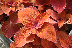 ColorBlaze® Keystone Kopper® Coleus (Solenostemon scutellarioides 'Keystone Kopper') at Skillins Greenhouse