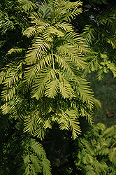 Gold Rush Dawn Redwood (Metasequoia glyptostroboides 'Gold Rush') at Skillins Greenhouse