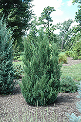 Blue Point Juniper (Juniperus chinensis 'Blue Point') at Skillins Greenhouse