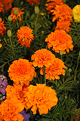 Little Hero Orange Marigold (Tagetes patula 'Little Hero Orange') at Skillins Greenhouse