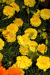 Little Hero Yellow Marigold (Tagetes patula 'Little Hero Yellow') at Skillins Greenhouse